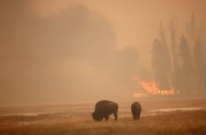 Bison graze in the 1988 fire
